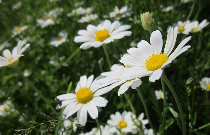 Anthemis - Golden Marguerite, Common Chamomile, Perennials Guide to Planting Flowers