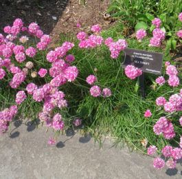 Armeria - Sea Pink, Thrift, Cliff Rose, Perennials Guide to Planting Flowers