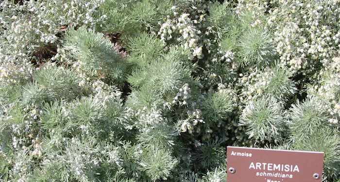 Artemisia - Wormwood, Perennials Guide to Planting Flowers
