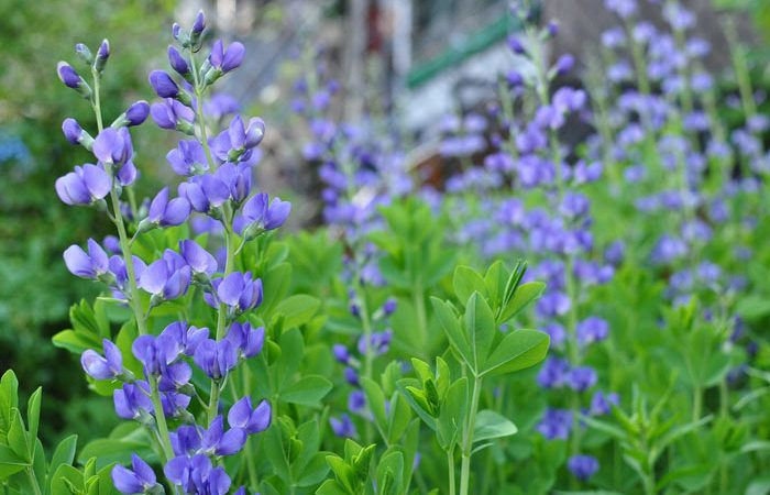 Baptisia - False Indigo, Wild Indigo, Perennials Guide to Planting Flowers