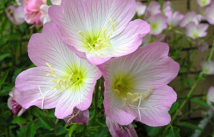 Cenothera - Evening Primrose, Sundrops