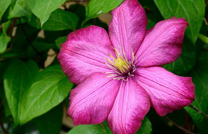 Clematis, Perennials Guide to Planting Flowers