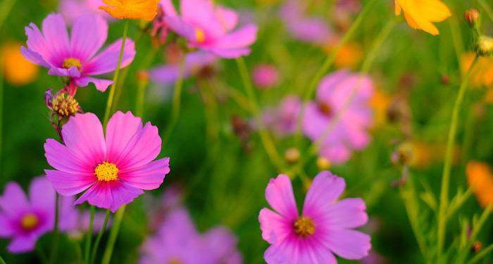 COSMOS  (Cosmea) (Mexican-aster), Annual Flower Information