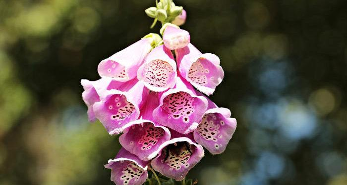Digitalis - Foxglove, Witches' Thimbles, Perennials Guide to Planting Flowers