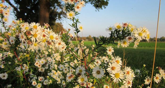Erigeron - Fleabane, Perennials Guide to Planting Flowers