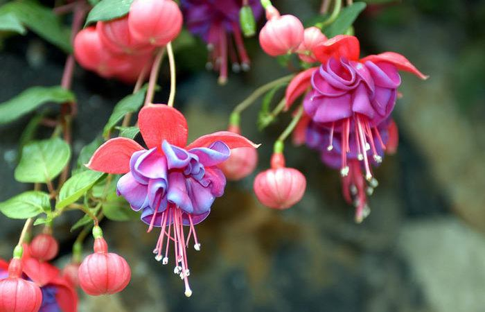Fuchsia Plant Care, Propagation, Pruning, Planting and Hanging Baskets