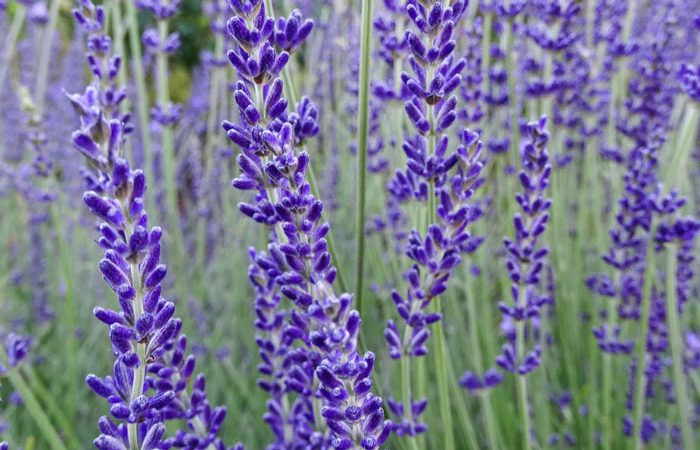 Lavandula - Lavender,  Perennials Guide to Planting Flowers