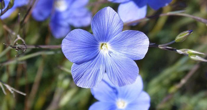 Linum - Perennial Flax, Golden Flax,  Perennials Guide to Planting Flowers