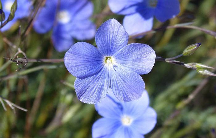 Linum - Perennial Flax, Golden Flax,  Perennials Guide to Planting Flowers