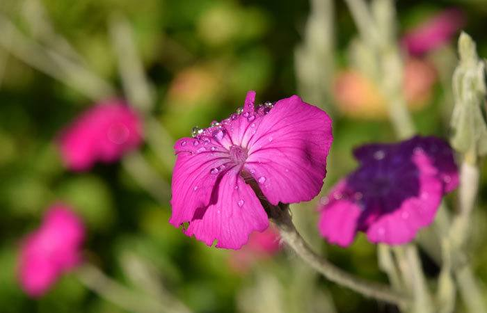 Lychnis - Rose Campion, Mullein Pink,  Perennials Guide to Planting Flowers
