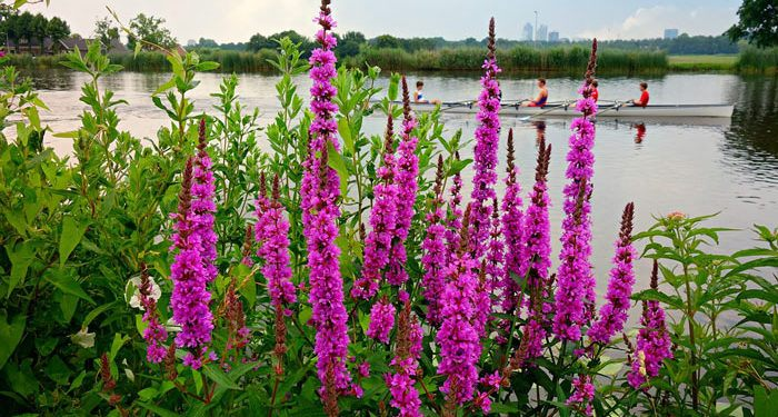 Lythrum - Purple Loosestrife, Perennials Guide to Planting Flowers