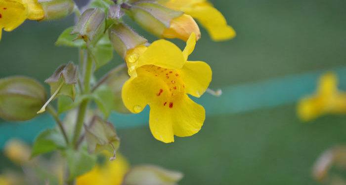 MIMULUS  Monkey flower, Annual Flower Information