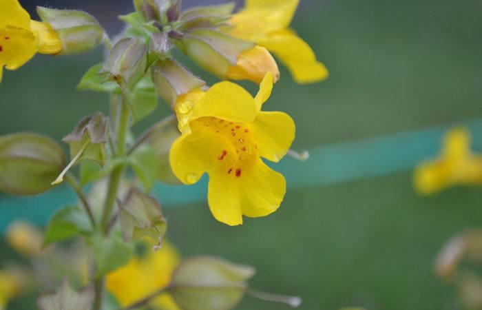 MIMULUS  Monkey flower, Annual Flower Information