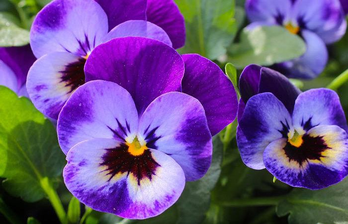 PANSY, Annual Flower Information