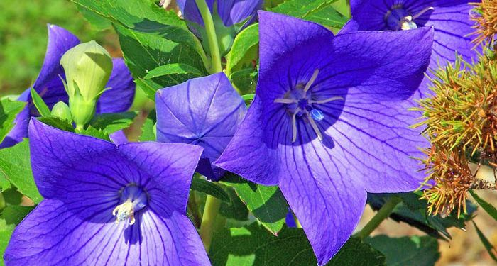 Platycodon - Chinese Balloon Flower, Perennials Guide to Planting Flowers