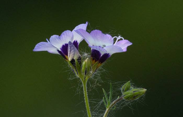 Polemonium - Jacob's Ladder, Perennials Guide to Planting Flowers