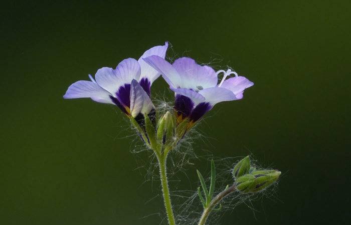 Polemonium - Jacob's Ladder, Perennials Guide to Planting Flowers