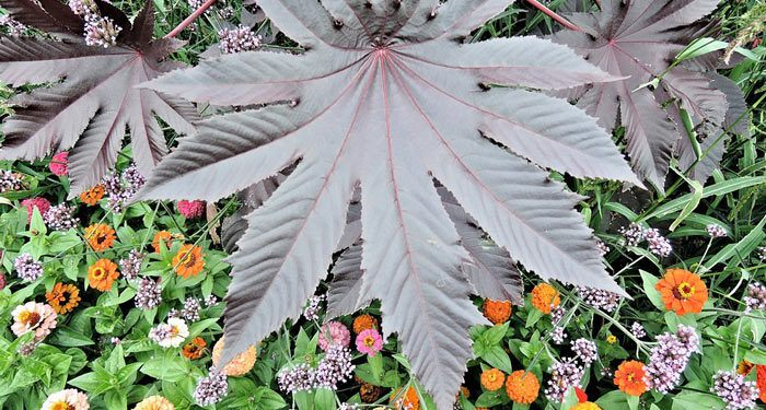 RICINUS  Castor bean, Annual Flower Information