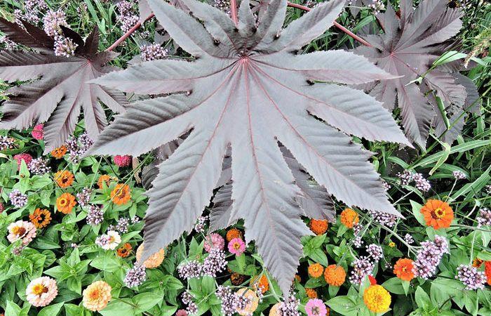RICINUS  Castor bean, Annual Flower Information