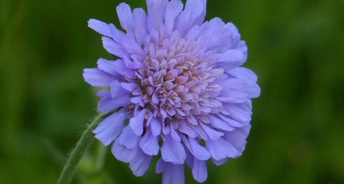 SCABIOSA - Pineushion flower - Mourning-bride, Annual Flower Information