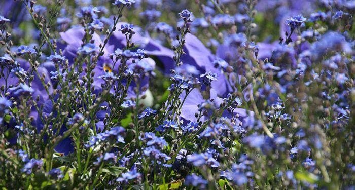 TORENIA  (Wishbone flower), Annual Flower Information