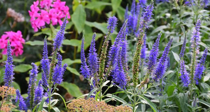 Veronica - Speedwell, Perennials Guide to Planting Flowers