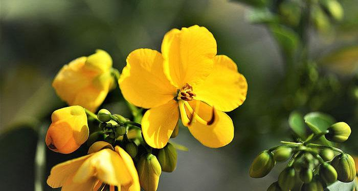 Cassia – American Senna, Indian Senna, Perennials Guide To Planting Flowers