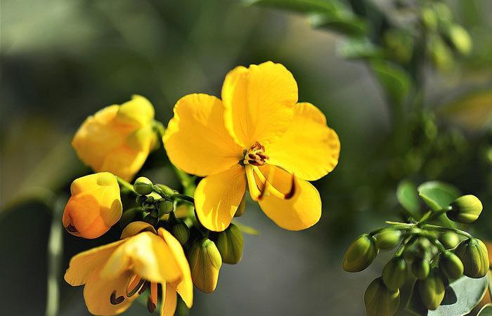 Cassia – American Senna, Indian Senna, Perennials Guide To Planting Flowers