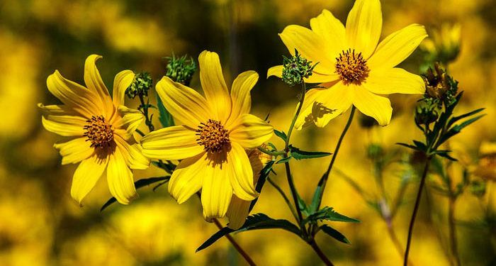 Coreopsis - Tickseed, Perennials Guide to Planting Flowers