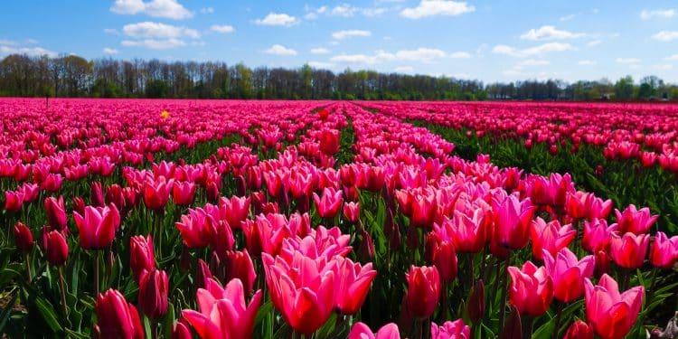 Tulip bulbs in bloom