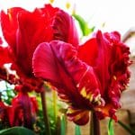 How to plant a garden tulip bulb