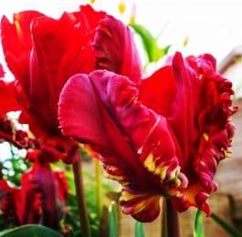 How to plant a garden tulip bulb
