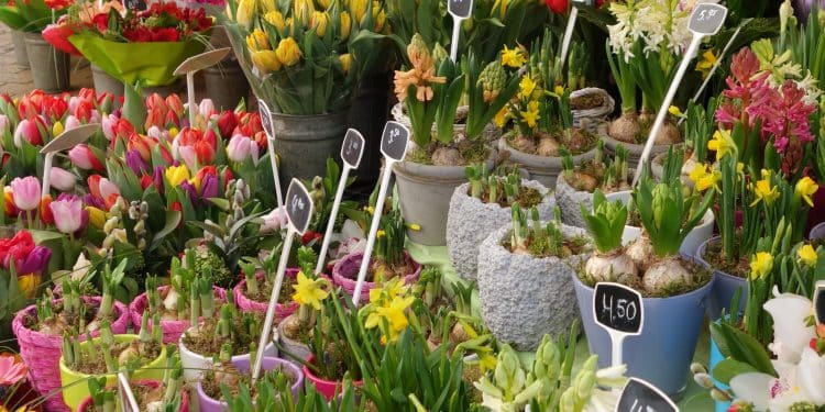 When to shop for bulbs corms and tubers in the garden store
