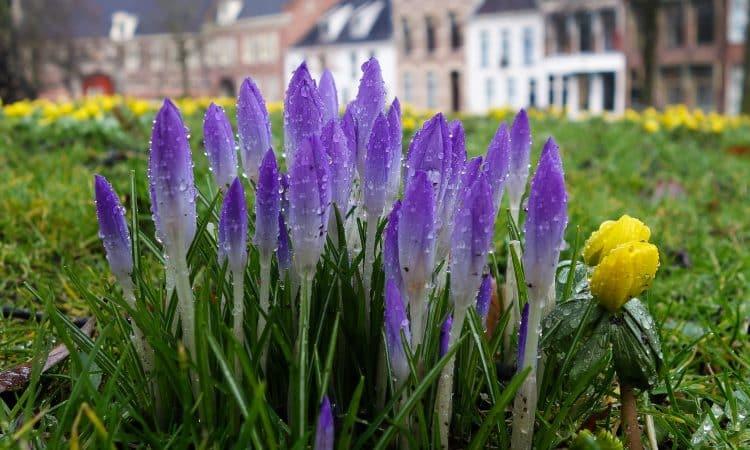 Where to plant the garden flower bulb