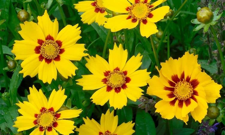 Coreopsis - Flower of the year