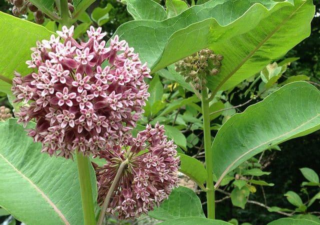 Perennial Plant Feature: Milkweeds