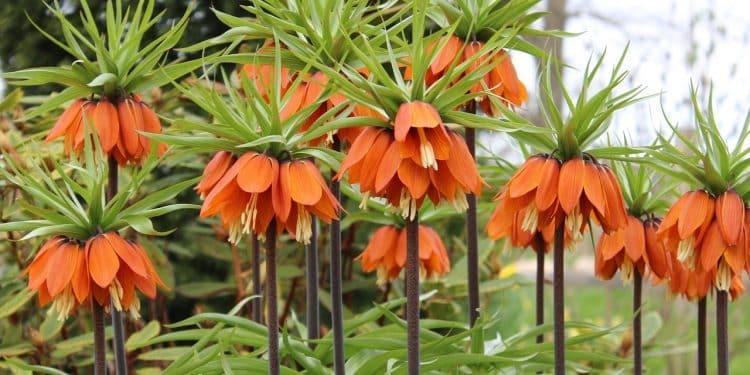 Plant Fritillaries this Fall