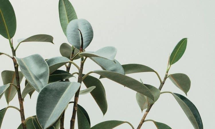 Easy Houseplants - Rubber Plant