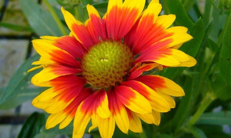Gaillardia - Blanket Flower, Perennials Guide to Planting Flowers