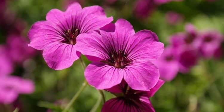 Geranium - Cranesbill, Herb Robert, Perennials Guide to Planting Flowers