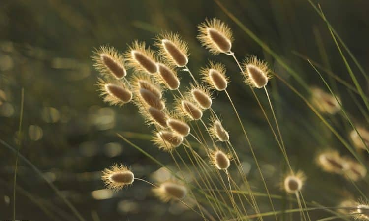 Grasses, Ornamental, Perennials Guide to Planting Flowers