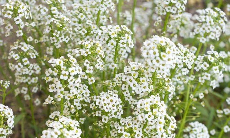 Gypsophila - Baby's Breath,  Perennials Guide to Planting Flowers