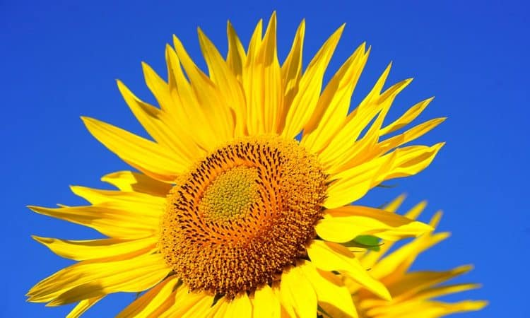 Helianthus - Perennial Sunflower,  Perennials Guide to Planting Flowers