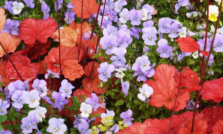 Heuchera - Fairy Flowers, Alum Root, Coral Bells,  Perennials Guide to Planting Flowers