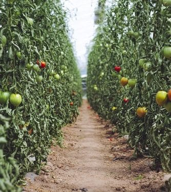 Tomato Growing Guide