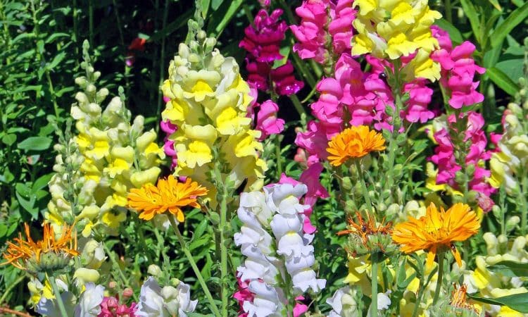 Snapdragon — 2019 Annual Flower of the Year
