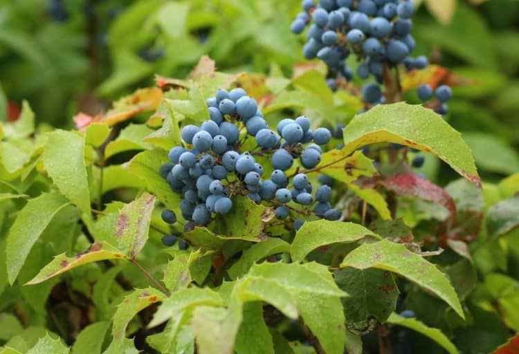 Bee-Friendly Plants for Your Landscaping Mahonia