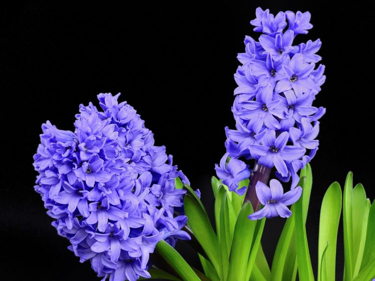 Hyacinth Bee-Friendly Plants for Your Landscaping