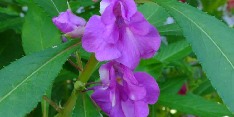 Plant care for Impatiens - Balsam (Snap weeds) (Touch-me-not), Annual Flower Information