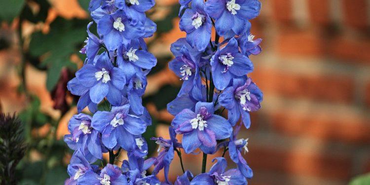 Delphinium - Larkspur, Perennials Guide to Planting Flowers